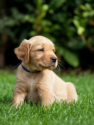 Brown puppy sitting in grass