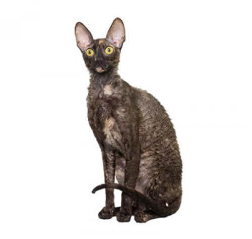 /cats/cat-breeds/library/cornish-rex